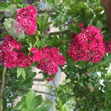 crataegus paul s scarlet ornamental trees for sale