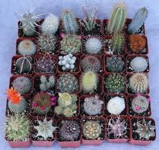 amazon com 36 cactus misc 2inch potted cactus collection garden