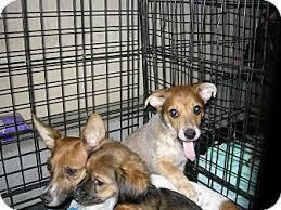 australian shepherd las vegas dingo adopted puppy north las vegas nv australian cattle