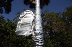 covers home palm trees in aluminum foil
