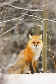 41 best corsac fox images on pinterest animals foxes and wild