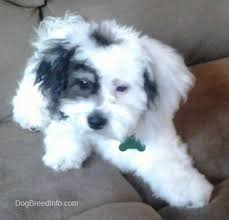 shichons haircut zuchon shichon dog breed information and pictures