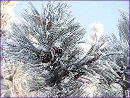 fast shape slim snow needle pine tree home design ideas