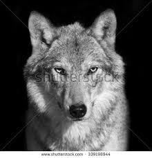 black white portrait grey wolf stock photo 339198944
