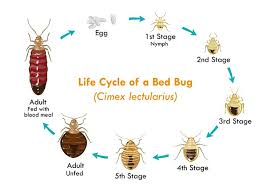 Bed Bug Nest Pictures How To Get Rid Of Bed Bugs U2013 The Ultimate Guide On How To Kill Bed