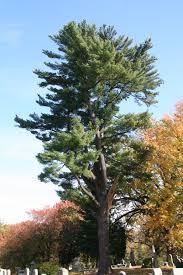 white pine trees eastern white pine delaware trees