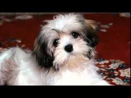 affenpinscher westminster 2015 affenpinscher top 25 most popular small dog breeds
