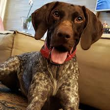 german shorthaired pointer puppies for sale near me