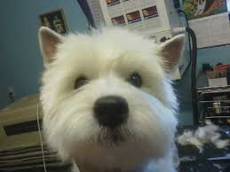 images of westie hair cuts west highland terrier grooming styles love this length for a
