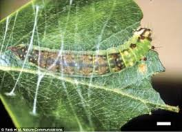 caterpillars use drumming to call for help when building a