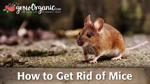 how to get rid of mice youtube