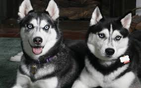 husky for mac computers 2560x1600 download awesome collection of