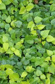 fresh new and beautiful betel leaf spring season background