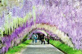 japan flower tunnel things to see in japan the wisteria flower tunnel of kawachi fuji