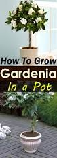 growing gardenia in pot gardenias and gardens