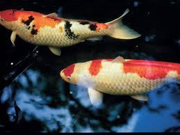 ornamental fish pond 101 wonderful koi southern living