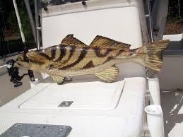 northern kingfish 30