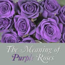 purple roses purple flower meaning and symbolism