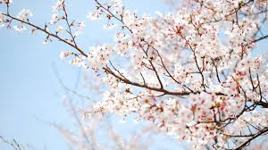 apple tree bloom wallpapers blooming sour cherry tree wallpaper flower wallpapers 27180