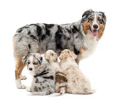 australian shepherd x puppies for sale australian shepherd puppies for sale