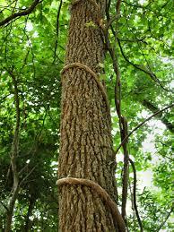 vines free stock photo tree with vine 112