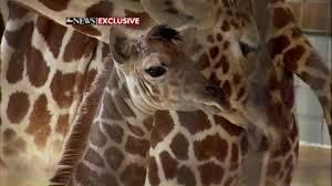 video april the giraffe gives birth at zoo in new york abc7news com
