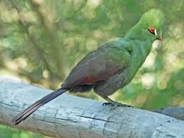 bird types of birds green turaco