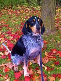bluetick coonhound youtube trying to do this with my dog dogs pinterest bunny
