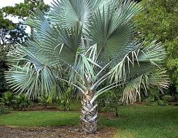 66 best florida trees images on plants tropical
