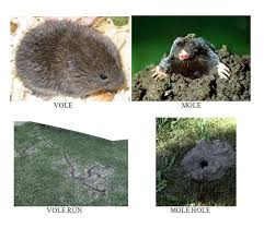 How To Get Rid Of Moles In The Backyard by Mn Animal Control Minneapolis Remove Moles Voles And Gophers