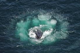 watch a of humpback whales u0027fish u0027 using nets made of
