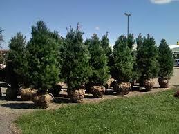 white pine trees unsheared premium sheared white pine trees