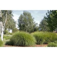 shop monrovia 3 quart maiden grass at lowes