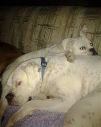 boxer dog upset stomach boxer dog gas and flatulence
