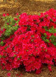 crimson hino crimson azalea monrovia hino crimson azalea