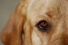 Blind Dog Eye Discharge Eye Discharge In Labrador Retrievers