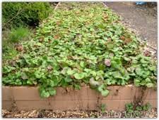 Strawberry Garden Beds Strawberry Yields Forever Gardening