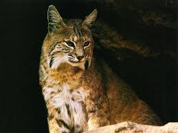 lynx wallpaper wallpapers browse