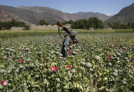 opium afghanistan opium production at record high amid instability