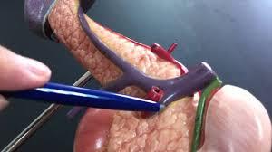 Anatomy Pancreas Human Body 3d Liver Anatomy Images Learn Human Anatomy Image