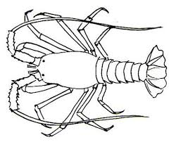 drawn lobster spiny lobster pencil and in color drawn lobster
