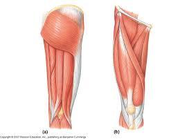 Diagram Of Knee Anatomy Muscle Anatomy Diagram Leg Muscles Human Body Back Human Anatomy