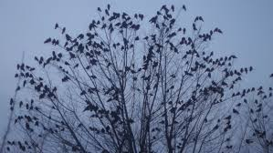 birds ravens sitting on a tree a lot of birds and frightened all