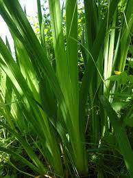 Iris Flag Yellow Flag Iris Tualatin Soil And Water Conservation District