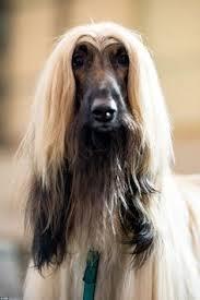 afghan hound grooming styles afghan hound afghan hounds pinterest afghan hound afghans