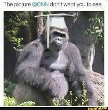 Funny Gorilla Meme - cincinnatizoo gorilla cnn news ifunny
