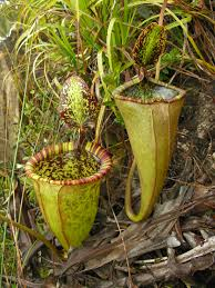 nepenthes attenboroughii a new species of giant pitcher plant