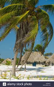 Mexican Thatch Roofing by Palm Trees And Wooden Thatched Roof Cabana Huts On The Beach Front