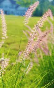 bunny tails ornamental grass hubpages