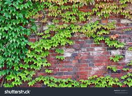 wall castle palace overgrown ivy plants stock photo 162449111
